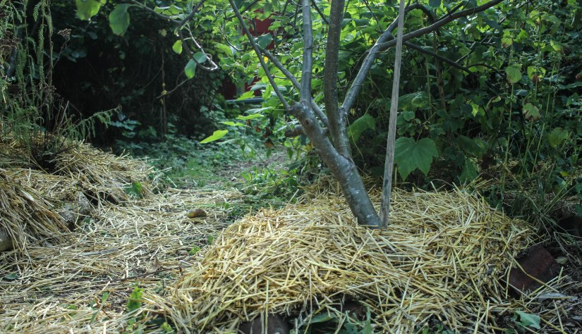 Hay mulching around trees and pathways